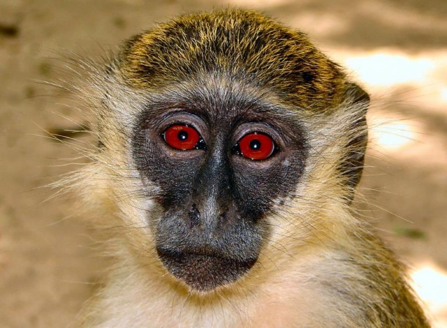 Classic Tale of the African Green Monkeys