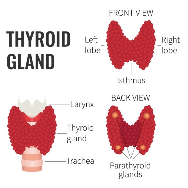 Thyroid Gland Diagrams